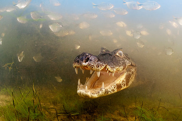 050_Luciano-Candisani-Brazil-Into-the-mouth-of-the-caiman